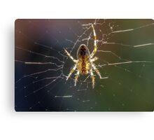 European Garden Spider (Araneus diadematus) Canvas Print