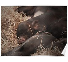 Sweet Dreams Little Piglets Poster
