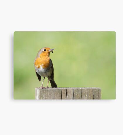 European Robin (Erithacus rubecula) Canvas Print