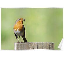 European Robin (Erithacus rubecula) Poster