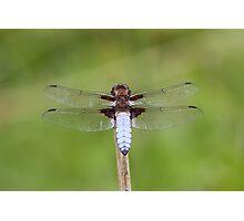 Male Broad-bodied Chaser (Libellula depressa) Photographic Print