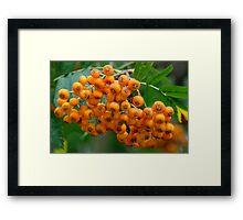 Close-up of orange Rowan tree berries or fruit Framed Print