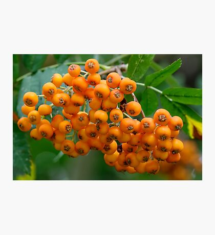 Close-up of orange Rowan tree berries or fruit Photographic Print