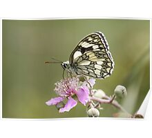 Marbled White butterfly (Melanargia galathea) on pink flower. Profile view Poster