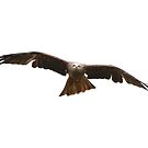Red kite in flight by miradorpictures