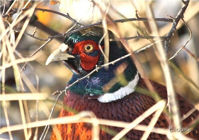 Colourful Pheasant by dilouise