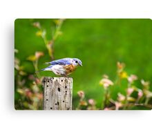 Spring Bluebird Canvas Print