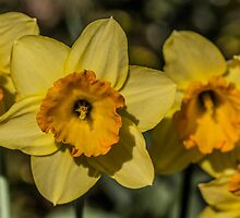 Bright Yellow Daffodil Flowers by Pixie Copley LRPS