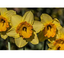 Bright Yellow Daffodil Flowers Photographic Print