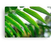 Ailanthus branch with narrow leaves Canvas Print