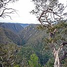 Eucalypt at Tia Gorge by Harry Oldmeadow