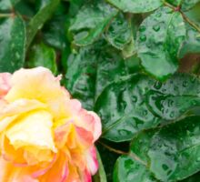 Fading autumn rose with droplets Sticker