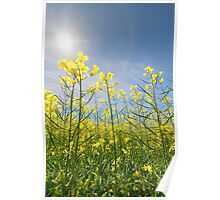 Sun Halo Over The Canola Poster