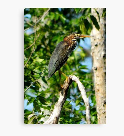 Green Heron on the Scuppernong Canvas Print