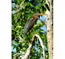 Green Heron on the Scuppernong Photographic Print