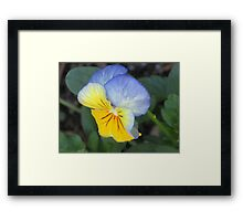 blue and yellow pansie Framed Print