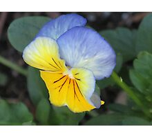 blue and yellow pansie Photographic Print