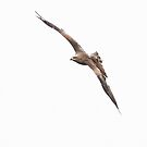 Red Kite  by miradorpictures