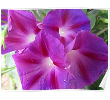 Purple Morning Glory Poster