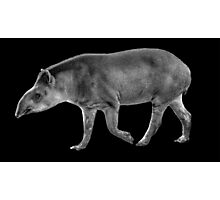 Black & White Tapir Photographic Print