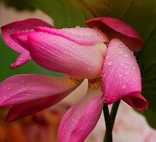 Lotus by DevineNature