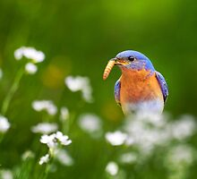 Bluebird with Worm by Christina Rollo