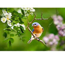 Beautiful Bluebird Art Photographic Print