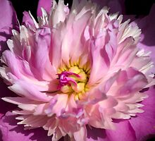 Pink Peony in Bloom by Christina Rollo