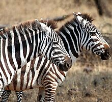 Plains Zebra, Serengeti National Park, Tanzania  by Carole-Anne