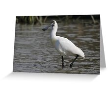 Royal Spoonbill #2, South Australia Greeting Card