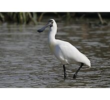Royal Spoonbill #2, South Australia Photographic Print