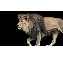 Lion on Black Photographic Print