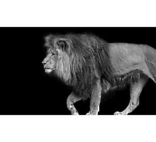 B&W Lion on Black Photographic Print