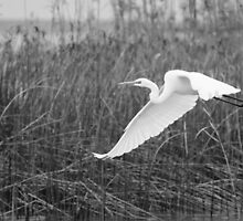 Great Egret by Craig Hender