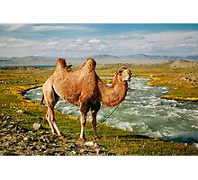 Camel Amidst Yellow Flowers Photographic Print