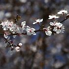 White Blossom of Spring by Joy Watson