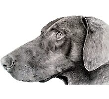 Pencil drawing of Zak the rescue doberman Photographic Print