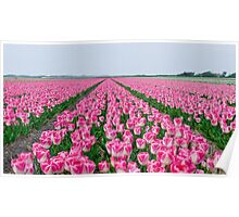 Field of White and Pink Tulips Poster