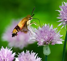 Hummingbird Moth by Christina Rollo