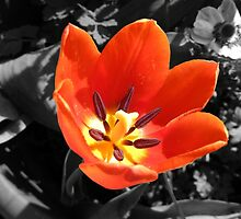 Tulip Bright in Colour. by Forfarlass
