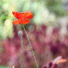 Poppyfly flutter by Jo Williams