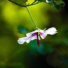 The Hibiscus dancer- Monsalvat by Jo Williams