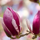 My Magnolia no.2 by Jo Williams