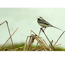 Pied Wagtail looking out... Photographic Print