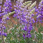 The Essence of Lupine by John Butler