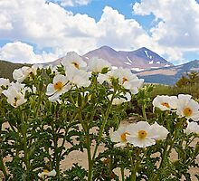 Prickly Poppies by John Butler