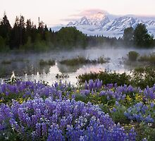 Teton Lupine by David Kocherhans