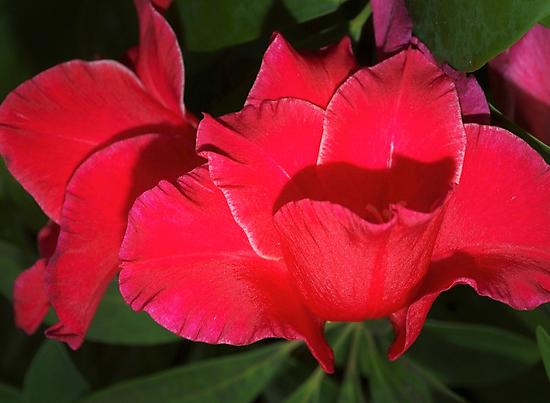 Velvety red lilies by ♥⊱ B. Randi Bailey