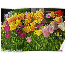 Brightly-Colored Tulips Poster