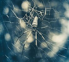 Large tropical spider in the web by Stanciuc